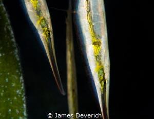 Shrimp Fish by James Deverich