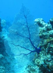 Fan Coral. Curacao. Canon Powershot S40. (Is coral Marine... by Peter Fields