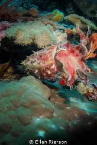 Cuttlefish on Wakatobi Reef - Canon T2i in Nauticam; Zen ... by Ellen Rierson