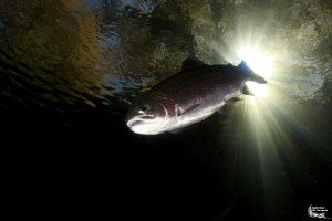 Trout in a small pond :-D by Daniel Strub