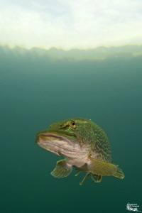 Pike in a small pond :-D by Daniel Strub