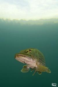 Pike in a small pond :-D by Daniel Strub