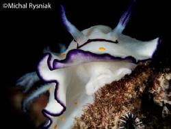 Goniobranchus annulatus by Michal Rysniak