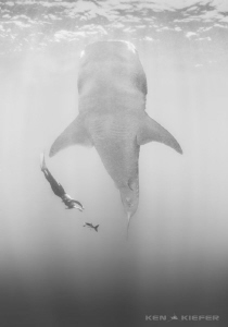 Freediving with a  Giant by Ken Kiefer