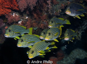 Sweetlips formation by Andre Philip