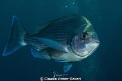 hey you .... diver.... by Claudia Weber-Gebert