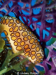 Flamingo tongue on a purple sea fan by Lindsey Mobley