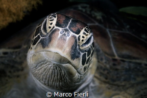 Green Turtle, Portrait by Marco Fierli