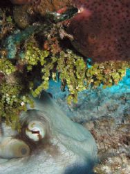 Octopus Hiding Under a Reef - Glovers Atoll, Belize. Olym... by George Smorse