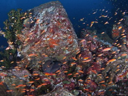 Moray Eel and coral fishes Pulau Weh, Indonesia by Kf Leong