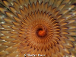 """Hypnotic"" by Walter Bassi"