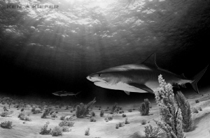 Tiger Shark with a Reef Shark in the background Tiger Be... by Ken Kiefer