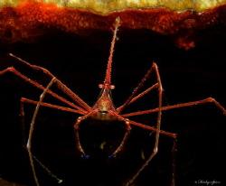 Yellowline Arrow Crab (Stenorhynchus seticornis) St Luci... by Henley Spiers