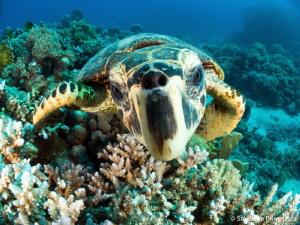 Curious turtle by Stéphane Primatesta