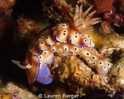 A beautiful Leopard Nudibranch (Diaulula sandiegensis) se... by Lauren Berger