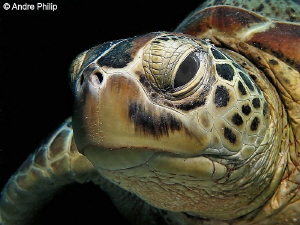 """""""Friendly, Trusting, Lovable"""" - The Green Turtle Nunukan... by Andre Philip"""