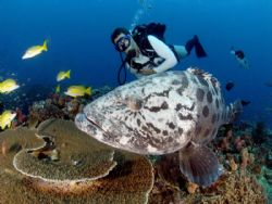 a friendly potato bass makes our dive very special.taken ... by Fiona Ayerst