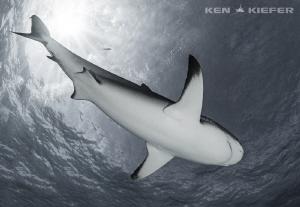 Belly Shot of a Reef Shark by Ken Kiefer