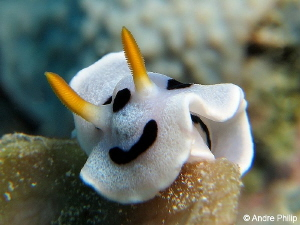 """Just one more step"" - climbing Chromodoris michaeli