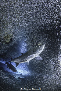 """""""Back for More""""  Tarpon preparing for some lunch. by Chase Darnell"""