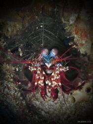 Peacock Mantis Shrimp by Kf Leong