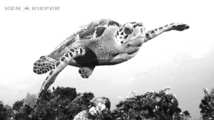 Hawksbill turtle checking out my camera and the reef by Ken Kiefer