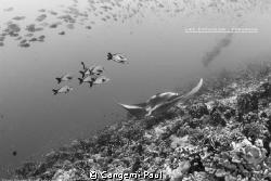 Manta ray in the life bath of North Fakarava by Cangemi Paul