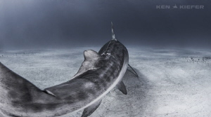 Prehistoric Tail - Emma, the well known TigerShark from a... by Ken Kiefer