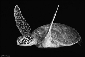 Turtle in B&W by Iyad Suleyman