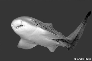 Close encounter with a Leopard Shark (Zebra Shark) by Andre Philip