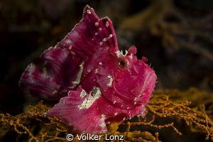 Leaffish by Volker Lonz
