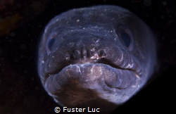 conger eel, the iron jaw. by Fuster Luc