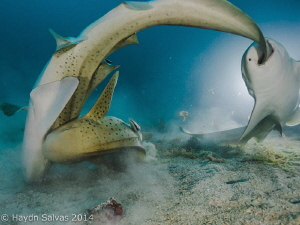 Diving on the Shinkoku Maru in Truk when we came across a... by Haydn Salvas