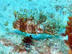 Web Burrfish - Glovers Atoll, Belize by George Smorse