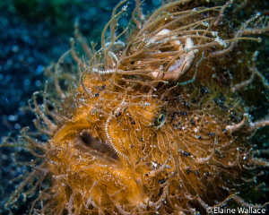 Hairy frog fish in Lembeh by Elaine Wallace