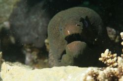 Gray morray eel by Richard Goluch
