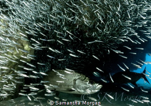 """From the Shadows"" - Silversides and Tarpon by Samantha Morgan"