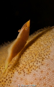 Tiny shrimp on starfish. I though the shadow made him see... by Steven Miller