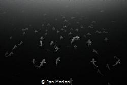 Mating amalgamation of Atlantic Sharpnose Sharks - Rhizop... by Jan Morton
