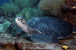 Turtle - Galapagos by Chris Miskavitch