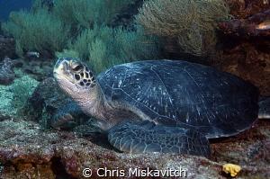 Turtle - Galapagos by Chris Miskavitch