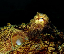 Common Octopus (Octopus vulgaris) St Lucia by Henley Spiers