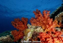 Coral blando by Matilde Llombart
