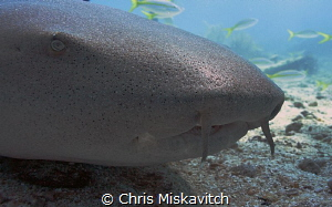 Nurse shark close-up by Chris Miskavitch