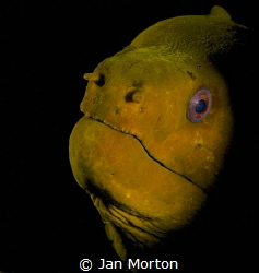 Portrait of a Moray Eel.  I lucked into this shot when my... by Jan Morton