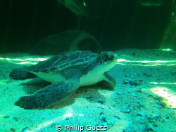 Turtle in Two Oceans Aquarium, V&A Waterfront, Cape Town,... by Philip Goets