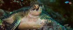 Green turtle relaxing on a coral by Arno Enzo