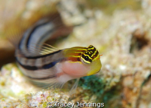 Beautiful blenny by Tracey Jennings