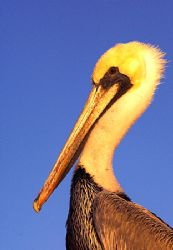 Sea of Cortez Pelican. D2x 70-200 zoom. Apparently, his ... by Rand Mcmeins