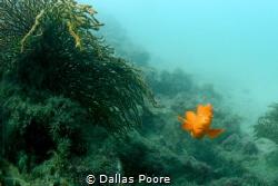 It's always fun playing peek-a-boo with orange Garibaldi'... by Dallas Poore